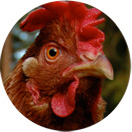 Høna og kyllingen